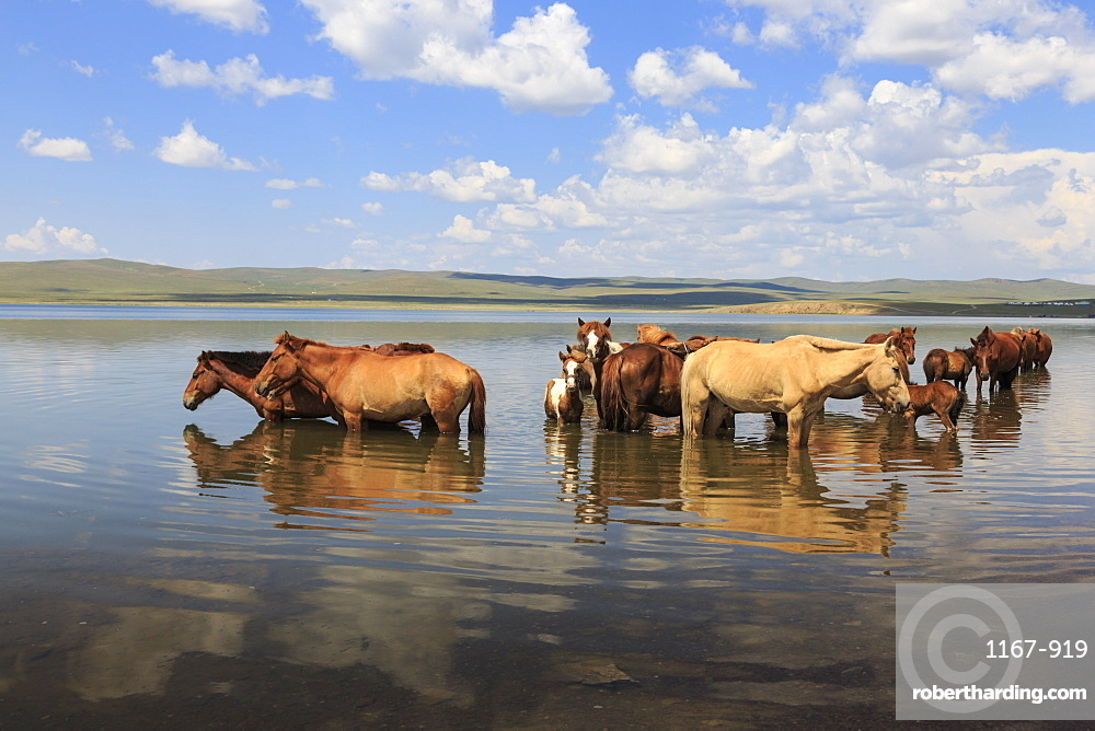Herd of horses and foals cool off by standing in a lake in summer, Arkhangai, Central Mongolia, Central Asia, Asia