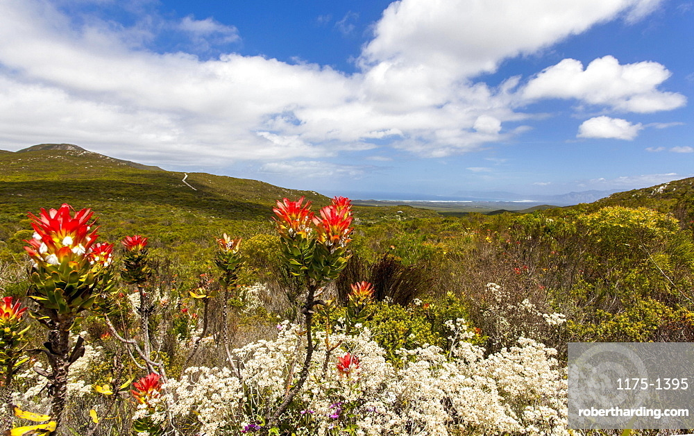 Flowering protea in the Grootbos Nature Reserve (South Africa)