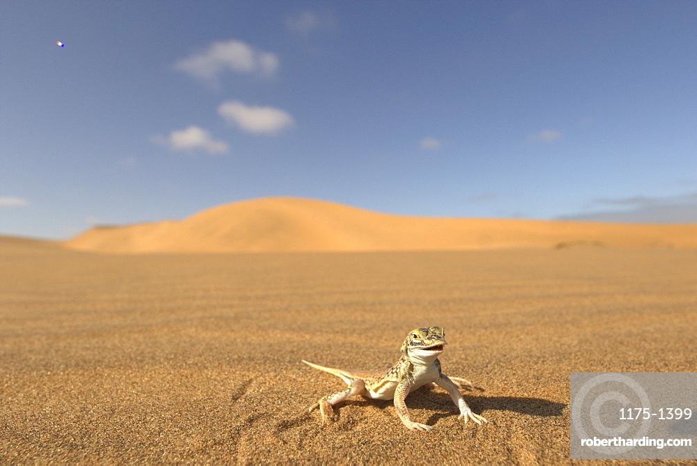 A desert lizard on the sand, Africa