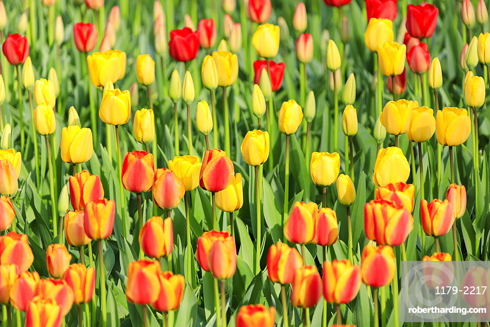 Multicolored tulips in bloom at the Keukenhof Botanical Garden, Lisse, South Holland, The Netherlands, Europe