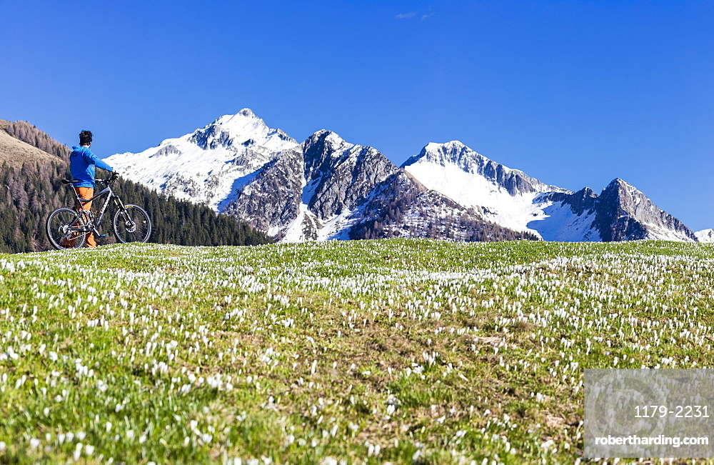 Panorama of cyclist with mountain bike framed by crocus in bloom, Albaredo Valley, Orobie Alps, Valtellina, Lombardy, Italy, Europe