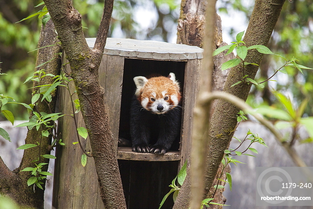 A red panda remains hidden in his shelter, built by forest guards who protect this endangered animal, Darjeeling, India, Asia