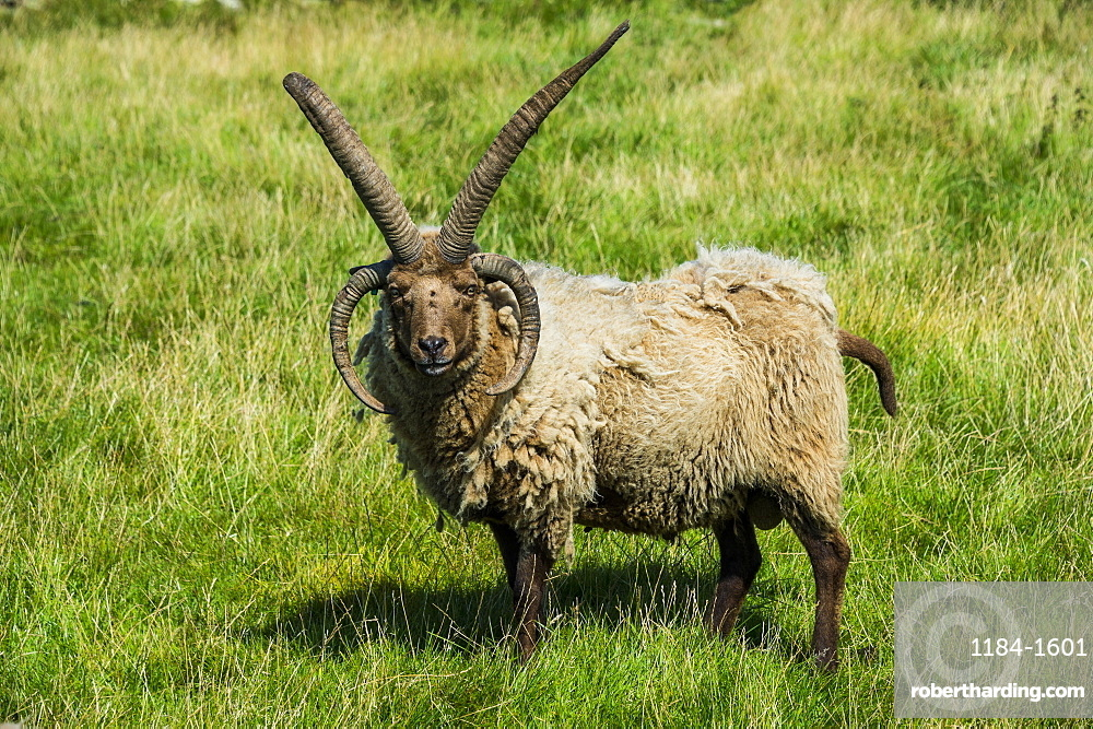 Four-horned Manx Loaghtan sheep (Ovis aries) in the living museum Cregneash village, Isle of Man, crown dependency of the United Kingdom, Europe