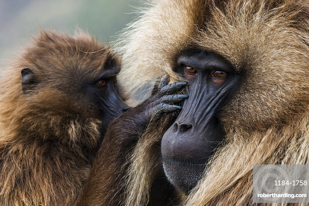 Baby cleaning a male Gelada baboon, Simien Mountains National Park, UNESCO World Heritage Site, Ethiopia, Africa
