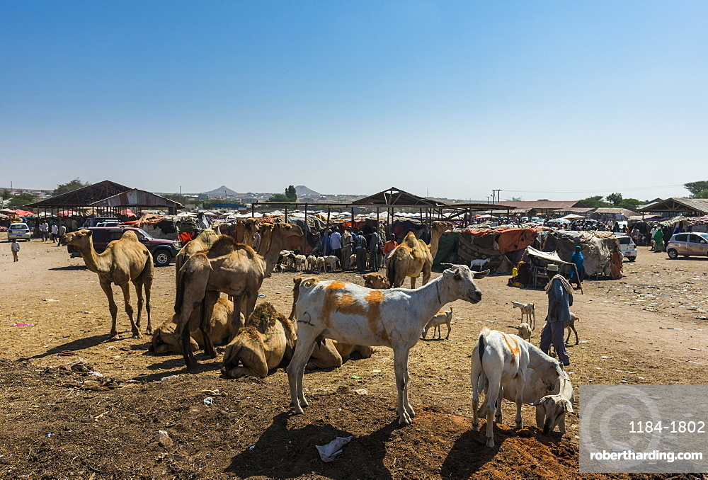 Goats for sale at the Camel market, Hargeisa, Somaliland, Somalia, Africa