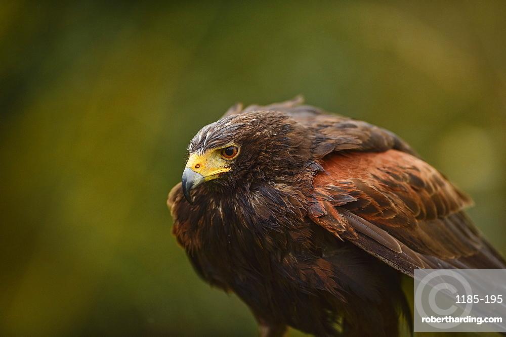 Harris hawk, United Kingdom, Europe