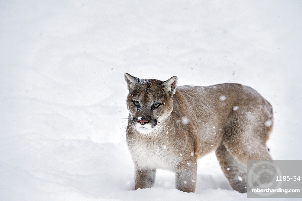Mountain lion (puma) (cougar) (Puma concolor), Montana, United States of America, North America
