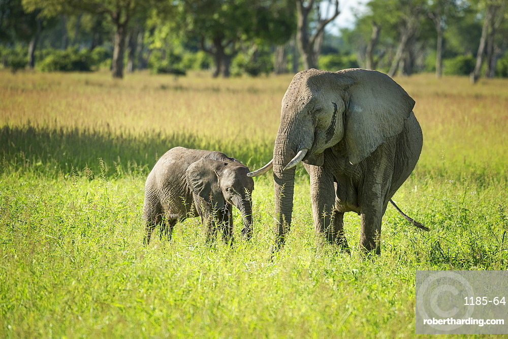 African elephant (Loxodonta) mother and calf, South Luangwa National Park, Zambia, Africa