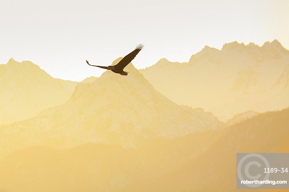 Bald eagle, Kenai Peninsula, Alaska, United States of America, North America