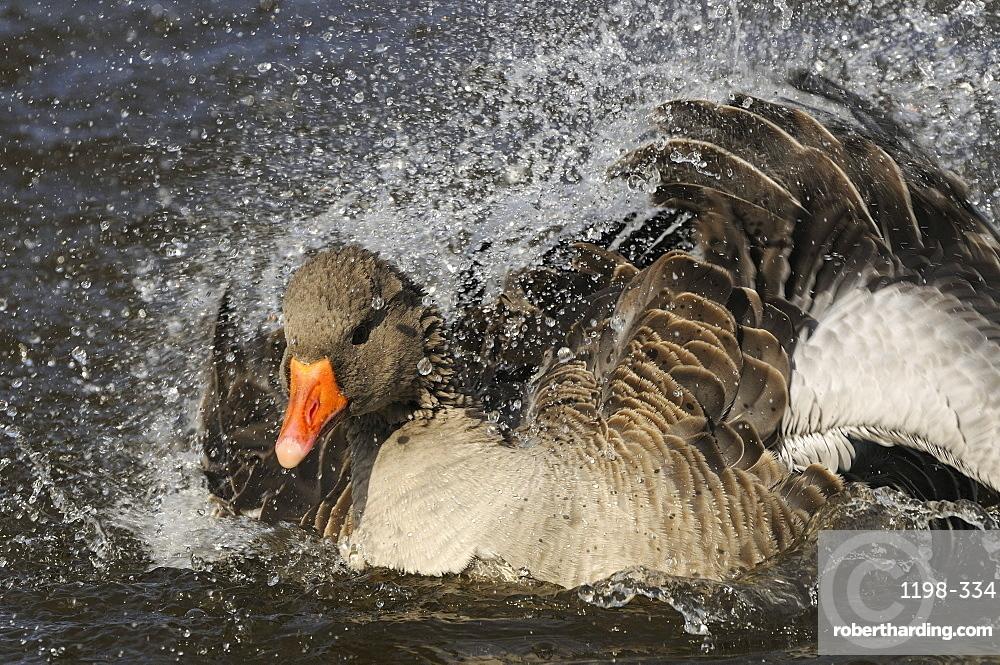 Greylag goose (anser anser) splashing, washing, bathing, oxfordshire, uk