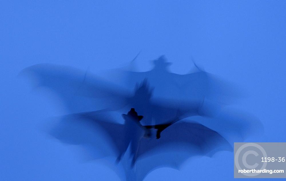 Straw-coloured fruit bat (eidolon helvum) kasanka  park, zambia, in flight, abstract image.