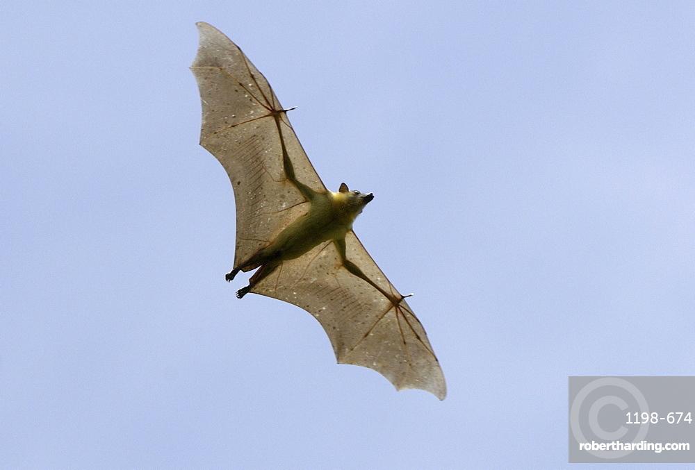 Straw-coloured fruit bat (eidolon helvum) kasanka national park, zambia, in flight