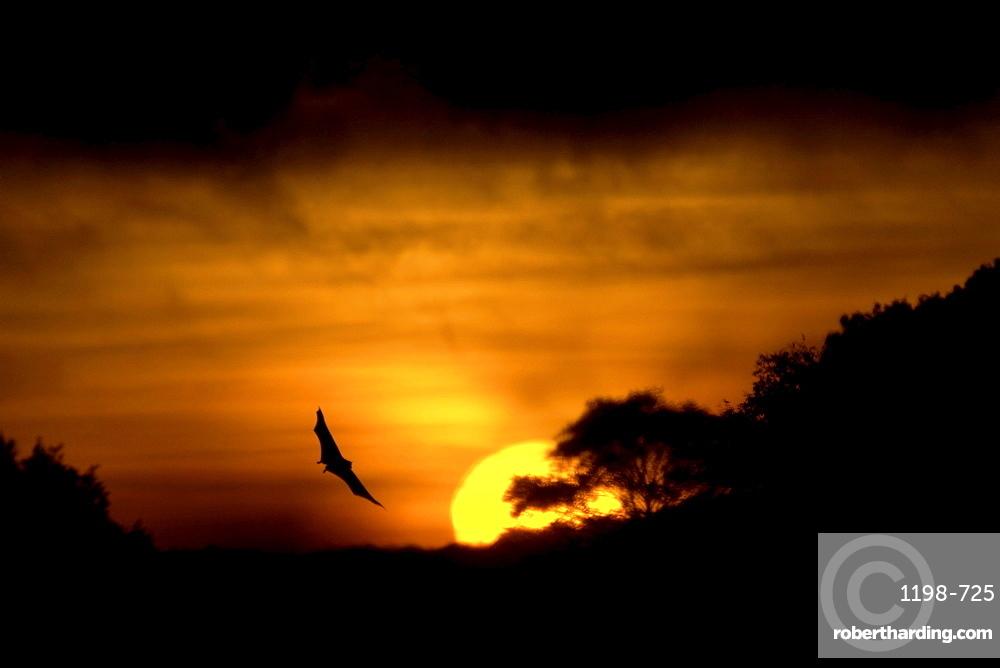 Straw-coloured fruit bat (eidolon helvum) kasanka national park, zambia, in flight at sunrise
