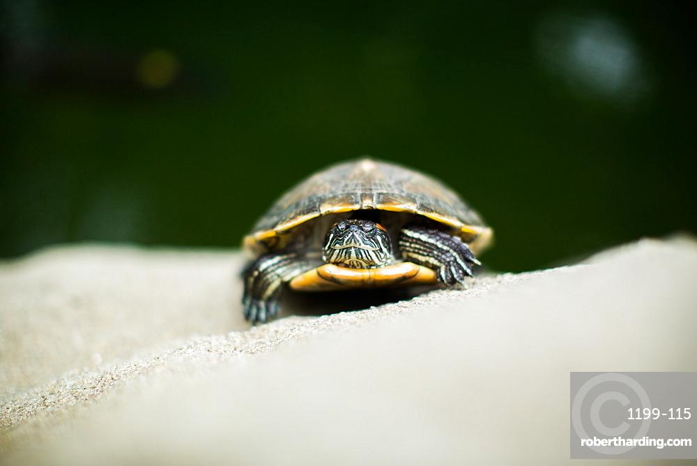 Turtle, Central Park, Hong Kong, China, Asia