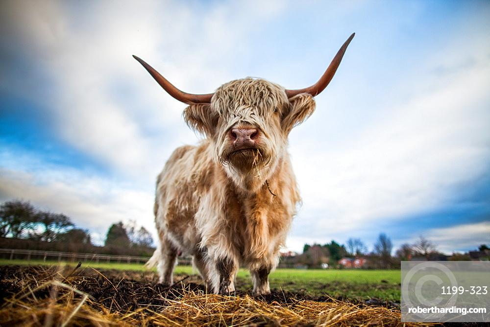 Highland cattle (Bos taurus), Gloucestershire, England, United Kingdom, Europe