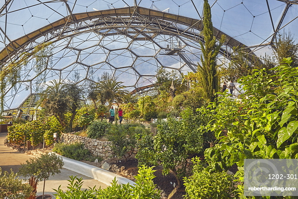 A view inside the Mediterranean Biome, covered by its huge dome, at the Eden Project, near St. Austell, south Cornwall, England, United Kingdom, Europe