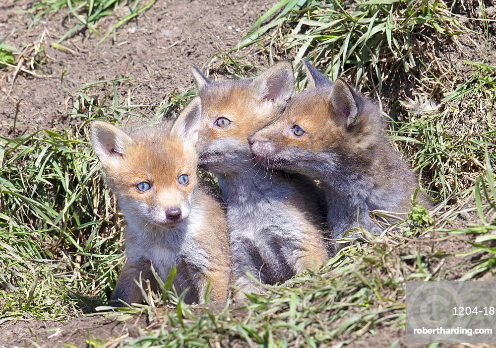 Red Fox Cubs (Vulpes vulpes), Middlesborough, United Kingdom, Europe