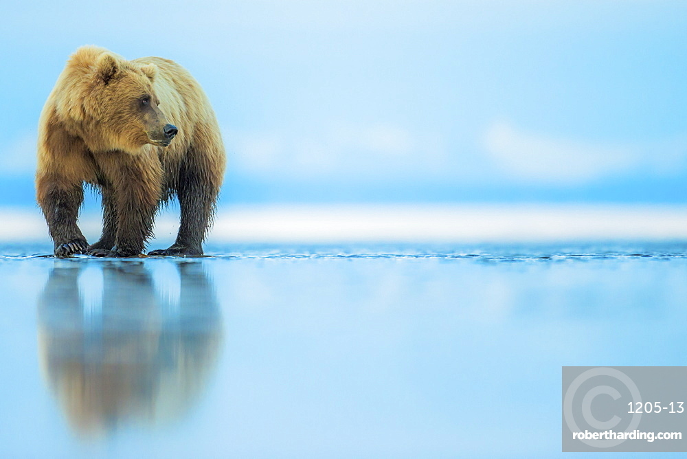 Brown bear (Ursus arctos), Lake Clark, Alaska, United States of America, North America