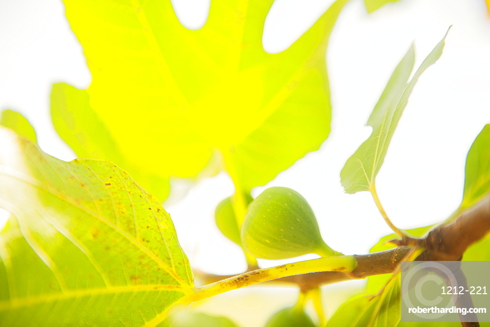Figs ripening in the Mediterranean sun, France, Europe