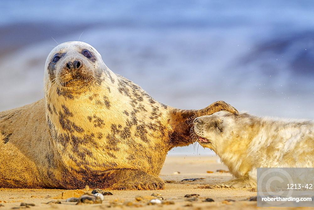 Grey seal mother (Halichoerus grypus) and pup, Winterton on Sea beach, Norfolk, England, United Kingdom, Europe