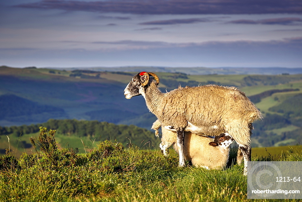Sheep with lamb on Stanage Edge, Peak District National Park, Derbyshire, England, United Kingdom, Europe