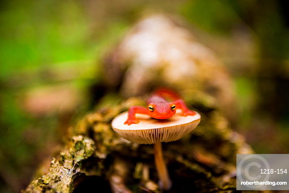 Salamander, Sequoia National Park, California, United States of America, North America