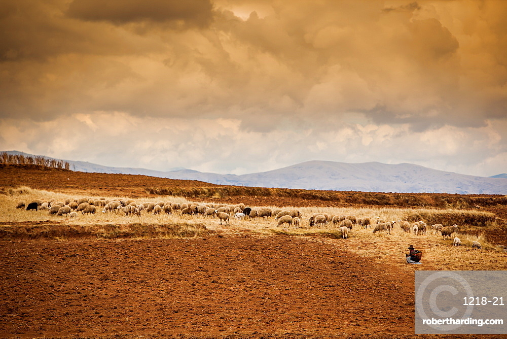 Farmer and her sheep, Sacred Valley, Cusco, Peru, South America