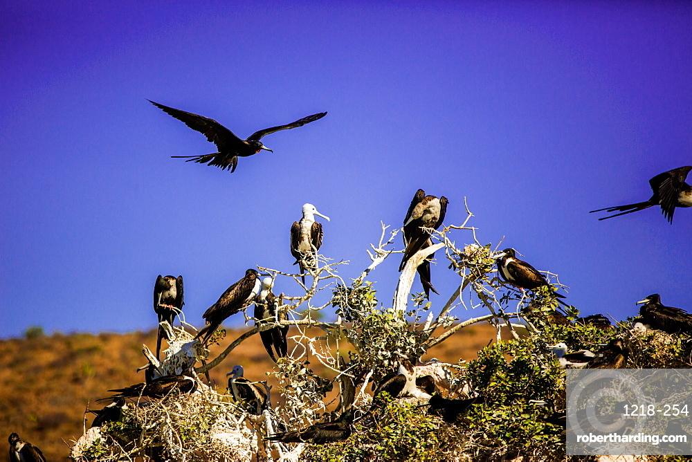 Red-footed boobie birds, Isla del Espiritu Santo, Baja California Sur, Mexico, North America