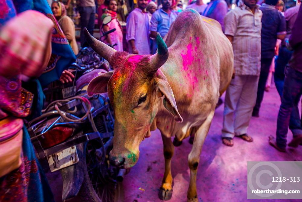 Holy cow, pigment throwing Holi Festival, Vrindavan, Uttar Pradesh, India, Asia
