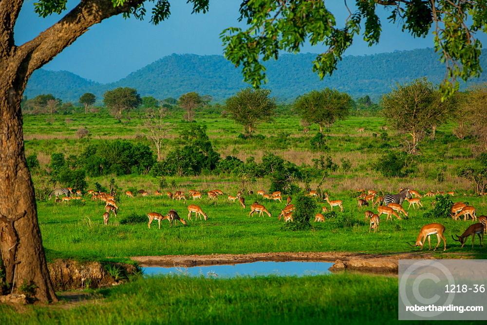 Impala at a watering hole, Mizumi Safari Park, Tanzania, East Africa, Africa
