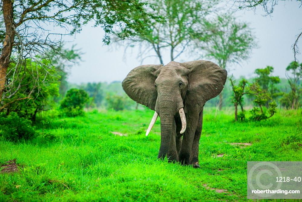 Elephant on safari, Mizumi Safari Park, Tanzania, East Africa, Africa
