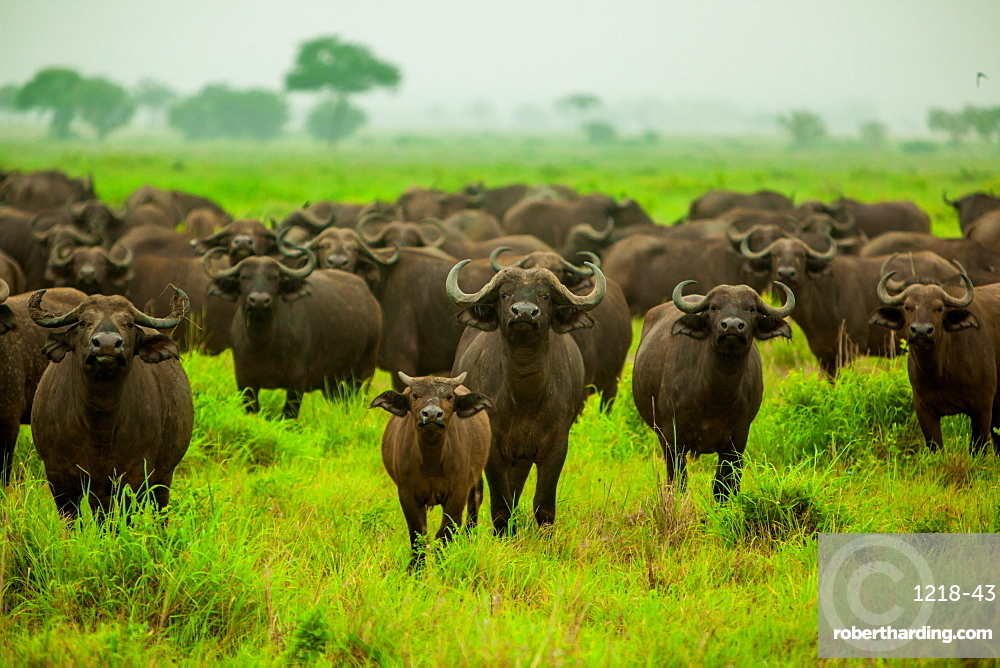Water buffalo standoff on safari, Mizumi Safari Park, Tanzania, East Africa, Africa