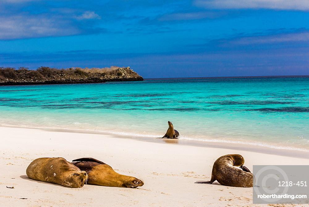 Sea lions on Floreana Island, Galapagos Islands, UNESCO World Heritage Site, Ecuador, South America