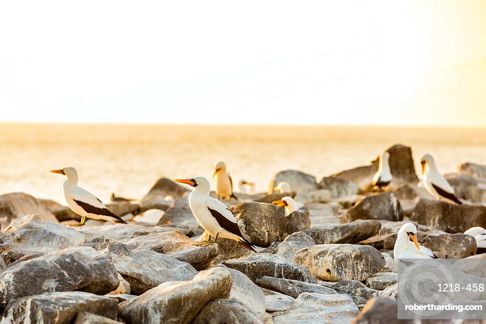 Nazca boobies, Espanola Island, Galapagos Islands, Ecuador, South America