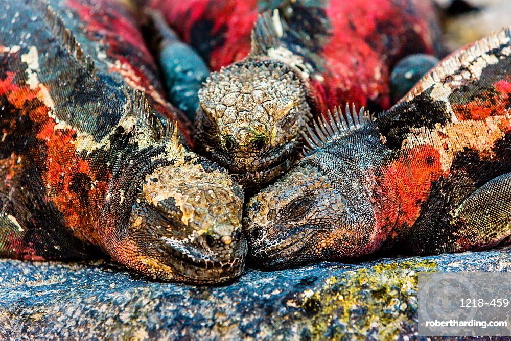 Iguanas, Espanola Island, Galapagos Islands, Ecuador, South America