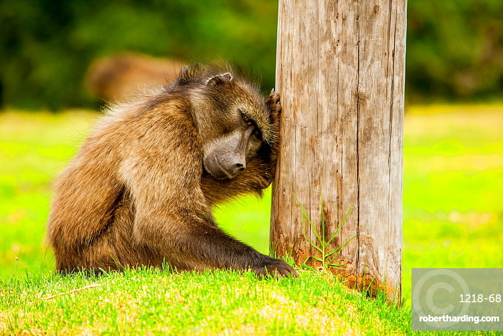 Baboon resting, Johannesburg, South Africa, Africa