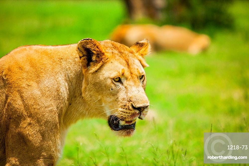 Lioness at Kruger National Park, Johannesburg, South Africa, Africa