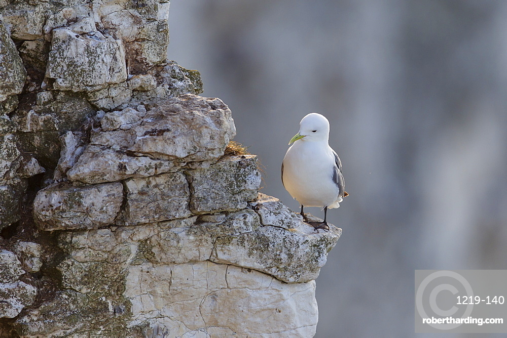 Kittiwake (Rissa tridactyla) perched on the edge of a ledge against a backdrop of cliffs at Bempton, Yorkshire, England, United Kingdom, Europe