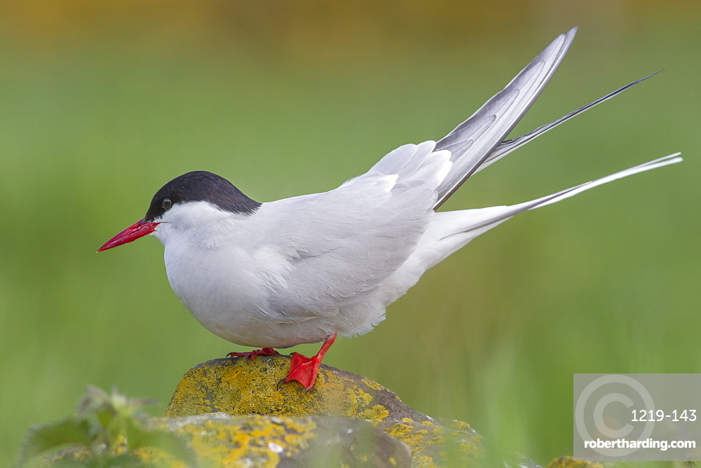 Arctic tern (Sterna paradisaea)perched on a rock on the Farne Islands, Northumberland, England, United Kingdom, Europe