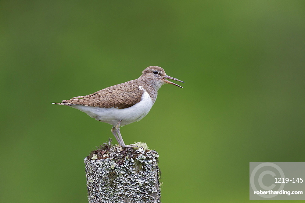Common sandpiper (Actitis hypoleucos) singing while perched on an old tree stump in the Findhorn Valley, Scotland, United Kingdom, Europe