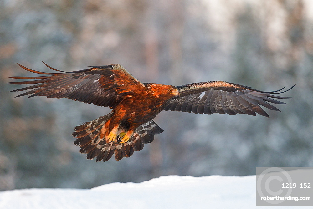 Golden eagle (Aquila chrysaetos) takes flight in golden late afternoon winter light above the snow, Taiga Forest, Finland, Scandinavia, Europe