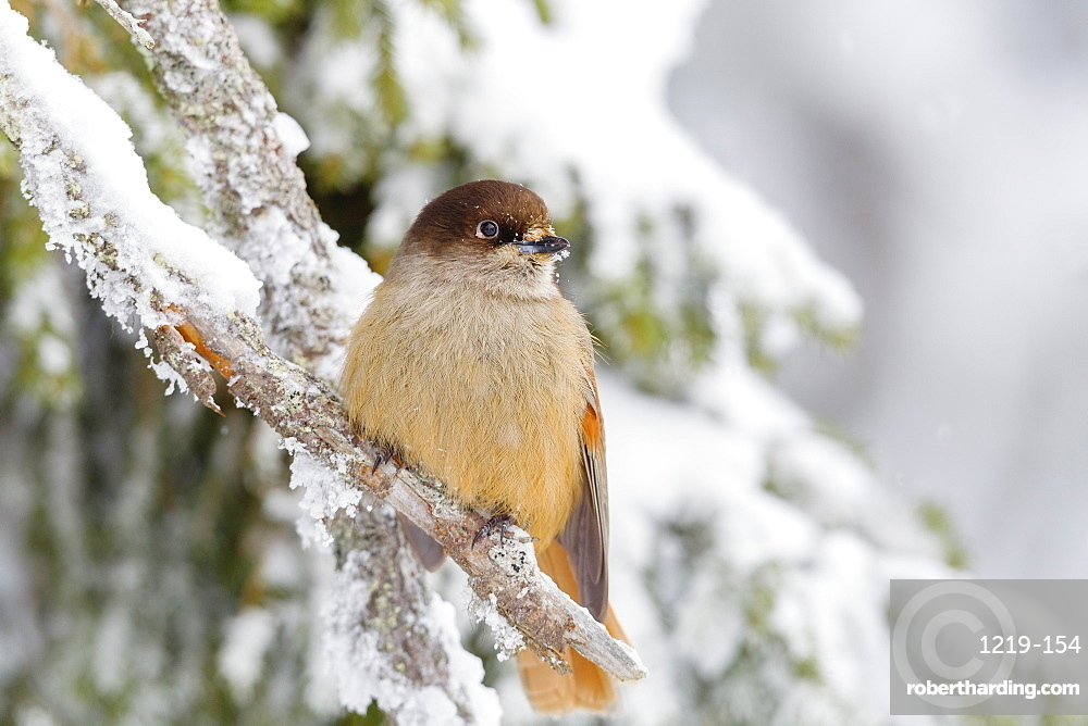 Siberian jay (Perisoreus infaustus), perched on a snow covered branch, Taiga Forest, Finland, Scandinavia, Europe