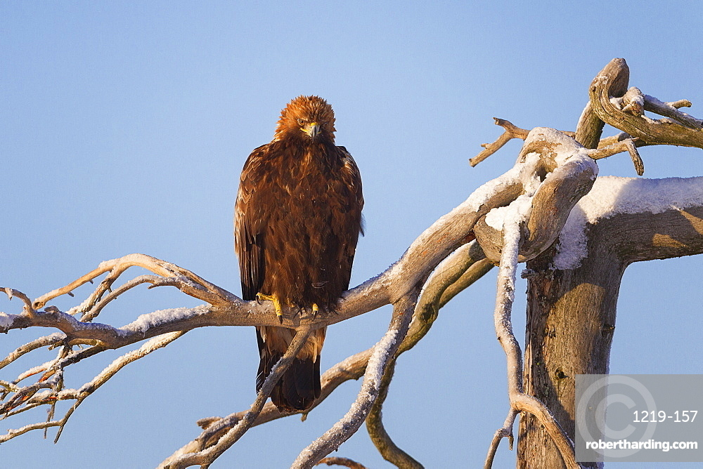 Juvenile golden eagle (Aquila chrysaetos) perched on a snow covered high tree lit by the low winter sun, Taiga Forest, Finland, Scandinavia, Europe