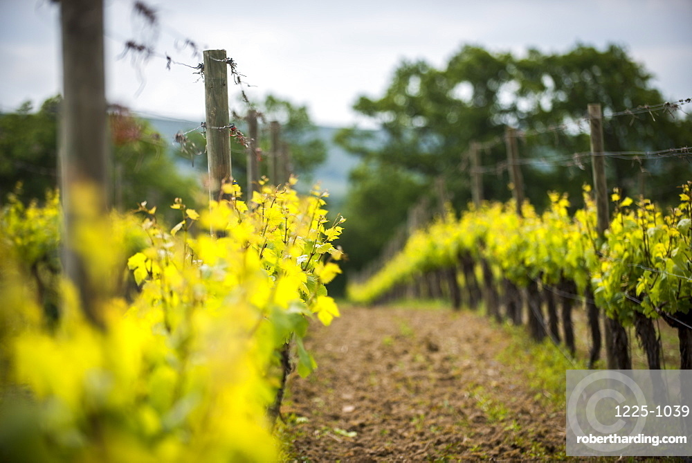 A vineyard in Sussex, England, United Kingdom, Europe