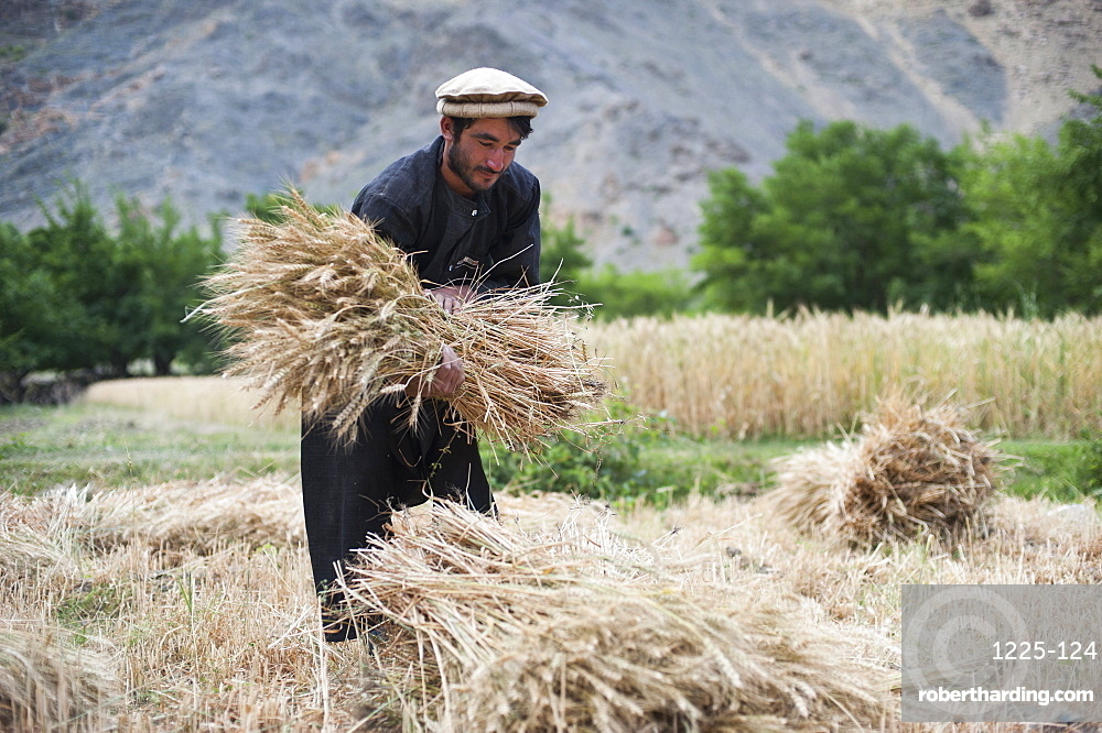 A farmer holds a freshly cut bundle of wheat in the Panjshir Valley, Afghanistan, Asia