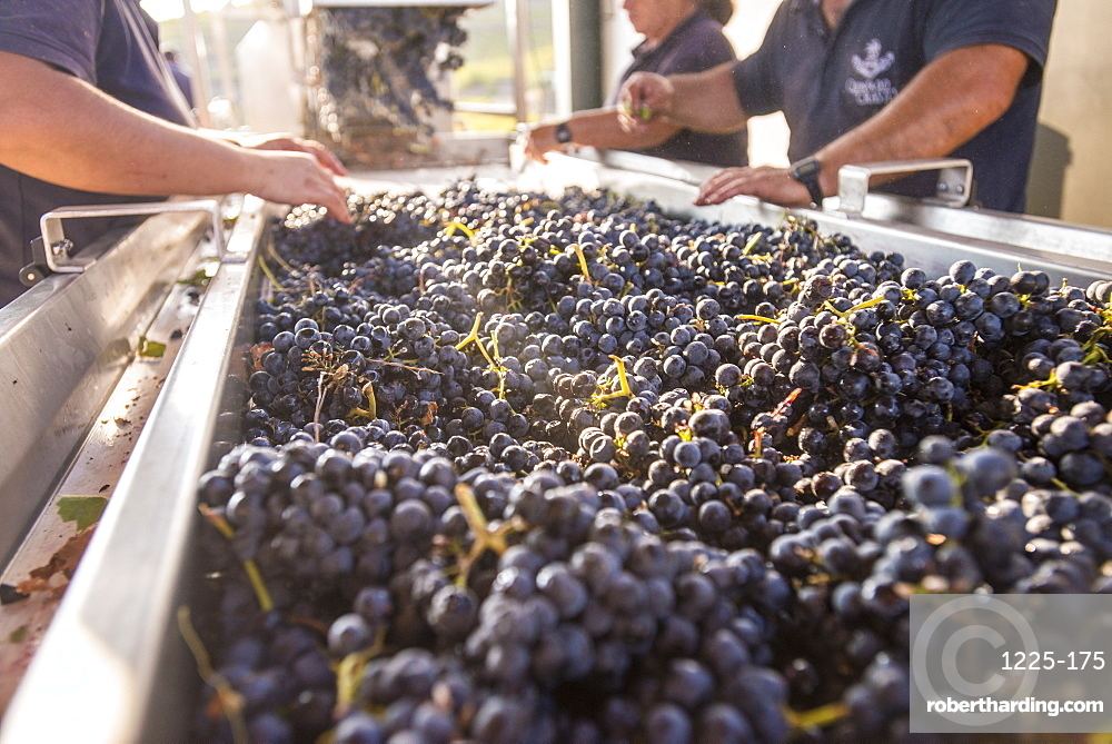 Sorting freshly harvested grapes at a winery in the Alto Douro region of Portugal, Europe