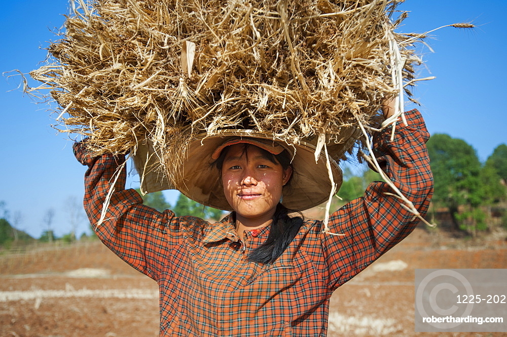 A girl carries a bundle of freshly harvested wheat on her head, near Pindaya in Shan State, Myanmar (Burma), Asia