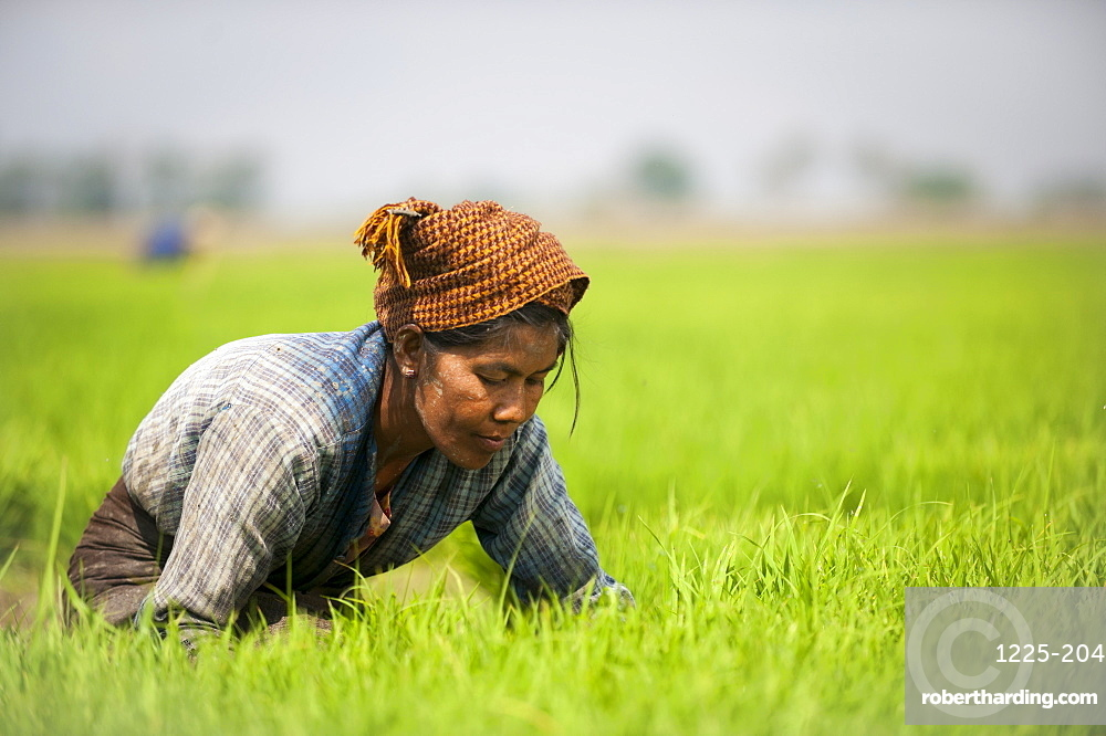 A woman near Inle Lake harvests young rice into bundles which will be re-planted spaced further apart to allow the rice to grow, Shan State, Myanmar (Burma), Asia