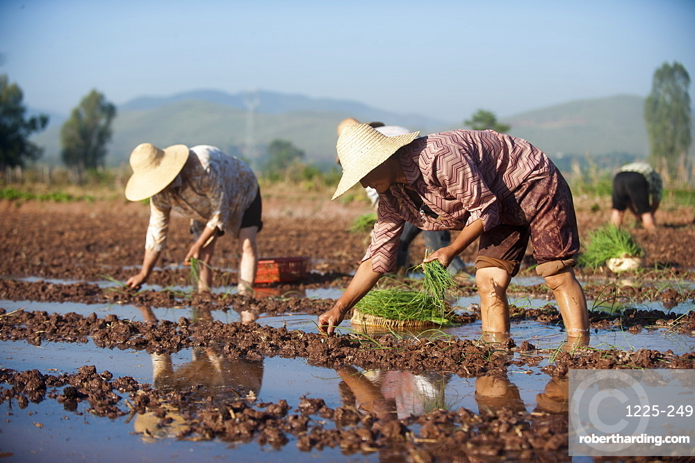 Women working in the fields plant vegetables in Yunnan Province, China, Asia