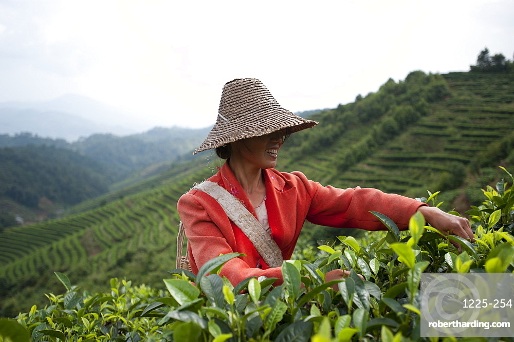 A woman collects tea leaves on a Puer tea estate in Yunnan Province, China, Asia